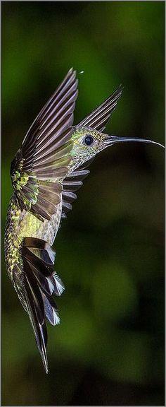 Scaly-breasted Hummingbird Pital, Alajuela, Costa Rica -- (Phaeochroa cuvierii) #photo by NigelJE #bird animal nature wildlife exotic pet