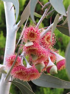the buds of these gorgeous Australian flowers on the Gum Tree Exotic Plants, Exotic Flowers, Amazing Flowers, Wild Flowers, Beautiful Flowers, Flowers Bunch, Australian Native Garden, Australian Native Flowers, Australian Plants