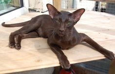 Siamese Cat Gallery - Cat's Nine Lives Pretty Cats, Beautiful Cats, Animals Beautiful, Cute Animals, Sphynx, Kittens Cutest, Cats And Kittens, Oriental Cat Breeds, Oriental Shorthair Cats