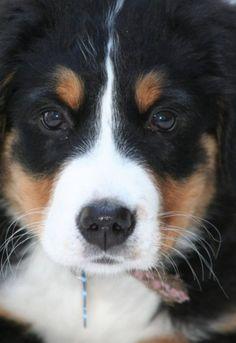 Bernese mountain dog:)