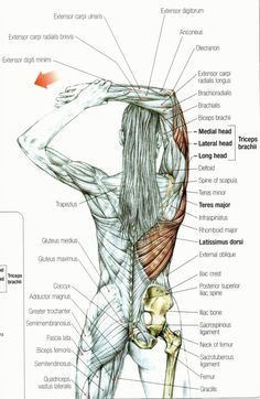 Middle back pain rotator cuff pain neck pain golfer's elbow and shoulder pa&; Middle back pain rotator cuff pain neck pain golfer's elbow and shoulder pa&; Leo Workout Middle back pain rotator […] fitness neck pain Shoulder Pain Relief, Back Pain Relief, Muscle Pain Relief, Neck And Shoulder Pain, Body Anatomy, Anatomy Drawing, Elbow Anatomy, Anatomy Organs, Anatomy Art