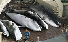 Dead minke whales aboard the flensing deck of the Nisshin Maru