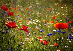 Wildflower verge, Doncaster 1