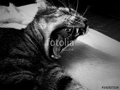 """Pobierz zdjęcie royalty free  """"Ziewający kot """" autorstwa nataliamatusz w najniższej cenie na Fotolia.com. Przeglądaj naszą bazę tanich obrazów online i odnajdź doskonałe zdjęcie stockowe do Twoich projektów reklamowych!"""
