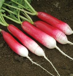 """D'Avignon The radishes are 3-4"""" long, slender, 2/3- 3/4 red, with a white tip, tapered to a point. Good fresh market specialty. Medium tops."""