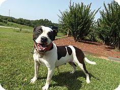 Thomaston GA - American Pit Bull Terrier Mix. Meet Hey Gurl a dog for adoption.