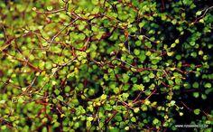 Muehlenbeckia astonii x 10 Pink Blossom Tree, African Iris, Judas Tree, Monterey Cypress, Native Garden, Seed Shop, Golden Chain Tree, Colorado Blue Spruce, Clematis Paniculata