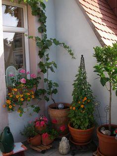 http://www.hausgarten.net/gartenforum/attachments/obst-und-gemuesegarten/80025d1266514477-traubenanbau-im-pflanzkuebel-sommer-09-015.jpg