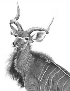 Greater kudu 1995 A pencil drawing of a greater kudu by wildlife artist Gary Hodges Pencil Drawings For Beginners, Pencil Drawings Of Love, Pencil Drawings Of Animals, Drawings Of Love Couples, Africa Painting, Scratchboard Art, Charcoal Sketch, Tattoo Portfolio, Large Animals