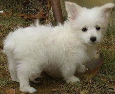 Toy Poodle + Corgi = Corgipoo