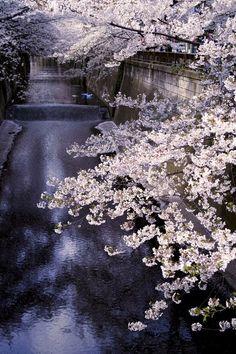 """A la tombée de la nuit, la couleur rose des """"Sakuras"""" illumine le paysage....Tokyo"""