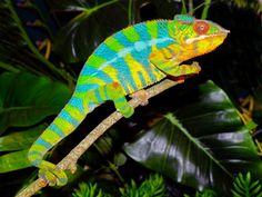 Biologia-Vida: Camaleão-pantera (Furcifer pardalis) / Panther chameleon (Furcifer pardalis)