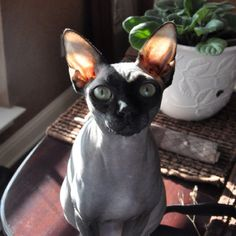 Our Sphynx cat! Hairless Cats, Siamese Cats, Baby Animals, Cute Animals, Cornish Rex Cat, Cutest Pets, Sphinx Cat, In The Zoo, Devon Rex