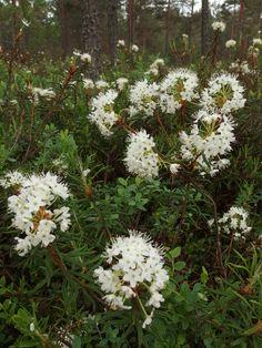 suopursu kukkii