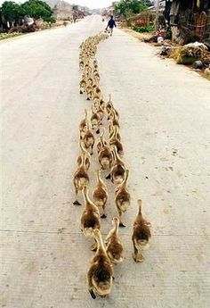 Pied Piper of ducks. https://1sttime2010.files.wordpress.com/2010/11/ducks-in-a-row.jpg