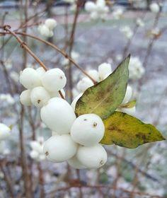 Snowberries in December - Turku Finland  #turku #åbo #visitturku #kissmyturku #joulukuu #december #seasonsoffinland #luonto #nature #naturelover #narurephoto #gardenlover #gardenphoto #lifestyleblogger #nelkytplusblogit #åblogit #ladyofthemess