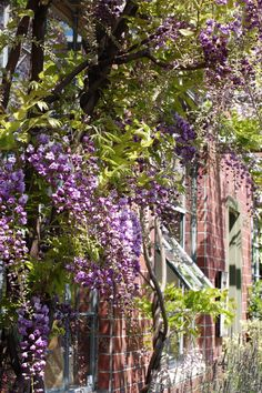 Blooming wisteria in dappled light against the brickwork of our office building. Taken in 2011.