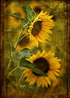 Sunflower Blooms ~ By Dan Routh Photography