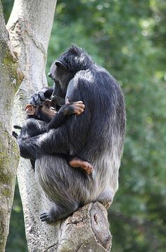 Chimpanzee mothers have been seen holding dead offspring for weeks. In far southeast of Guinea, scientists observed two mothers carrying the...