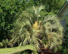 Hardy Palms: Butia Capitata Jelly Palm, Cocos australis, Pindo Palm