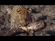 Narrated by David Attenborough, a family of Leopards in Botswana learn how to fish in order to survive Best Fishing, Fishing Tips, Fishing Poles, How To Catch Catfish, Holy Ghost, Big Guys, Big Fish, Leopards, Cute Creatures