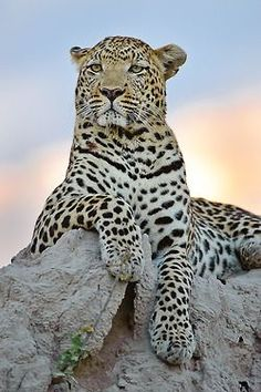 A Natureza E Os Animais: Gatos Selvagens. You are gorgeous., and delicious. Big Cats, Cool Cats, Cats And Kittens, Siamese Cats, Beautiful Cats, Animals Beautiful, Stunningly Beautiful, Chat Lion, Animals And Pets