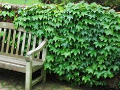 Ivy Heartiness This Variety Of Ivy Is Extremely Fast Growing With Triangular