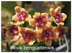 Hoya Benguetensis iml 0772