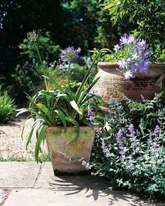 """BBC Gardeners' World Magazine on Instagram: """"This agapanthus container is proof that simple arrangements can produce dramatic results..."""""""