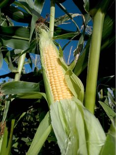 Taber Alberta is well-known for its annual sweet corn crop