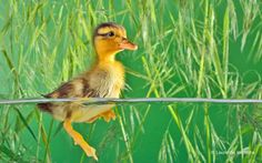 Little brown duckling swimming for the very first time ** Note: Soft Focus at best at smaller sizes Poster. Industrial Photography, Art Photography, Swimming Photography, Corporate Fotografie, Swimming Tattoo, Swimming Posters, Graphic Prints, Stock Photos