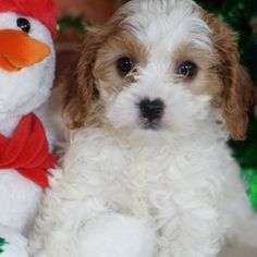 Holly is a Female Cavapoo puppy for sale at PuppySpot. Call us today to learn more (reference 626703 when you call). Cavapoo Puppies For Sale, Puppy Facts, Puppy Finder, Cute Animal Photos, Puppy Mills, Cuddling, Cute Animals, Physical Intimacy, Pretty Animals