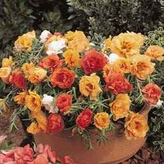 Portulaca - as I little girl I thought these were baby roses.