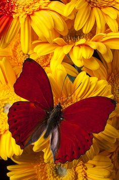 Red Butterfly On Yellow Gerbera Daisies