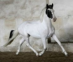 Barockpinto stallion, Dragon Mist Goodshapes of Pinto Friesians in the Czech Repubilic.