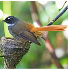 Rufous-tailed Fantail (Rhipidura phoenicura) - endemic to Java in Indonesia. Kinds Of Birds, All Birds, Exotic Birds, Bird Feathers, Amazing Nature, Beautiful Birds, Animal Photography, Animals And Pets, Java