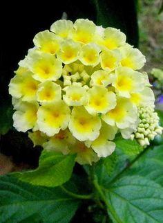 Lantana a Burst of Yellow