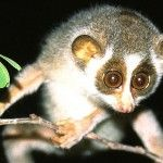 What is a Slow Loris? (besides the cutest animal in the world)