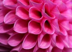 Close-up of dahlia, Kew Gardens