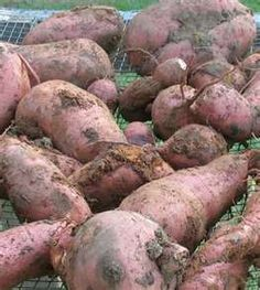 Similar to last years Sweet Potato harvest grown in raised beds