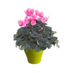 Cyclamen blanc avec cache pot rouge plantes d 39 int rieur - Puceron blanc plante verte ...