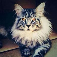 Idk what kind of cat this is but I want one lol