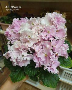 LE-Flirt / ЛЕ-Флирт • E. Lebetskaya • Large pink flowers with green frills. Slightly wavy foliage. • Ukraine #leflirt #lebetskayaviolets #ukrainianviolet #AVSA #africanviolet #indoorplant #houseplant #saintpaulia #senpolia #africanvioletlovers #fialka #africanvioletsocietyofamerica #flowers #bloom #fialki #africanvioletblooming #africanvioletmania #flowerstagram #flowersofinstagram #africanvioletsofinstagram