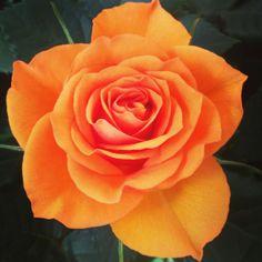 Rosa perfecte