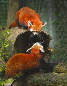 82 Best Zoos / US images in 2018 | Red panda, Panda, Red