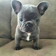 Blue French Bulldog Puppy❤ #buldog