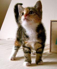 purpledove:  theanimalblog:  cutest kitten, ever (by fluffosaur) |fluffosaur  Soooooo cute!! <3