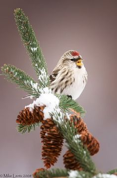 common redpoll in the snow