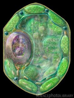 Plant cell: photo