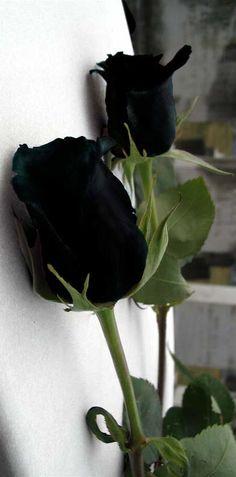 New flowers black rose beauty 33 Ideas Black Rose Flower, Black And White Roses, Gothic Garden, Dark Flowers, Black Garden, Flower Aesthetic, Dark Beauty, Beautiful Roses, Red Roses
